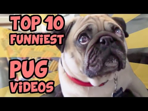 TOP 10 FUNNIEST PUG VIDEOS OF ALL TIME